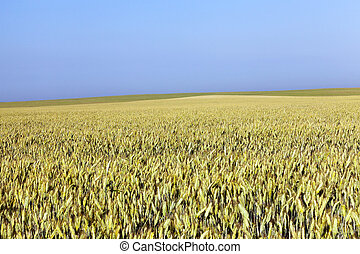 immature yellowing wheat - Agricultural field on which grow...