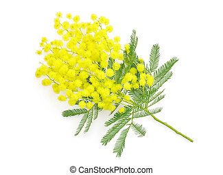 Wattle flower or mimosa branch, symbol of 8 march, women...