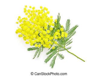 Wattle flower or mimosa branch, symbol of 8 march, women...