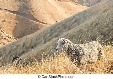 merino sheep grazing on steep grassy slope - closeup of...