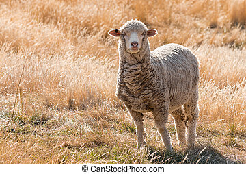 curious merino sheep standing on grassy hill - closeup of...