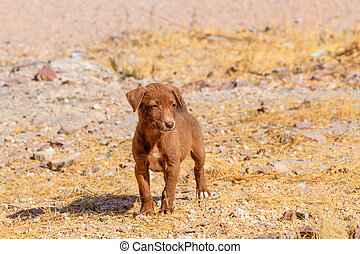 Puppy in the wild - A hungry puppy in a field in India.