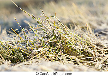 green grass in the frost - the grass is green, covered with...