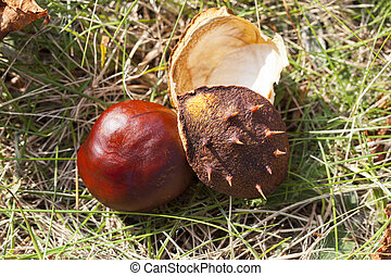 ripe fruit chestnut - ripened and fallen to the ground...