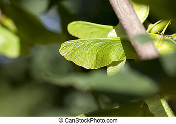 green maple seeds - photographed close-up of unripe green...
