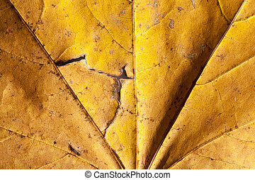 The fallen maple leaves - The fallen to the ground yellowed...