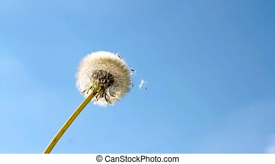 Dandelion flower and flying seeds on blue sky