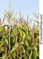 green corn, close up - Agricultural field on which grow...