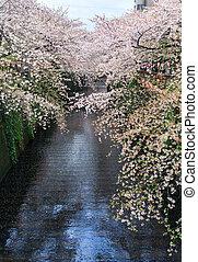 flor, Cereza,  nakameguro,  sakura,  canal