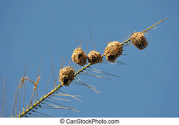 Nests of Belier tisserin in a Palm of Renion Island with...