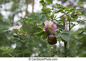 Summer in the woods on a branch of wild rose crawling snail....