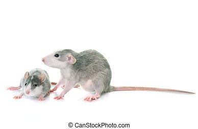 young rats bicolor - young rats in front of white background