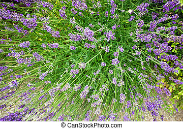 Closeup of bushy lavender with numerous blossoms