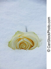 White rose in the snow