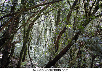Anaga Rural Park - rare evergreen ancient laurel forest on Tenerife, Canary Islands, protected area