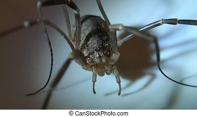 Long legs arachnid male - A long legs arachnid male