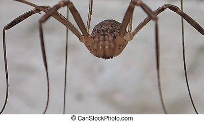 Very long legs arahnid - A very long legs arachnid moving