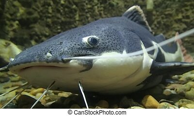 Close frame of a catfish - A close frame of a catfish in...