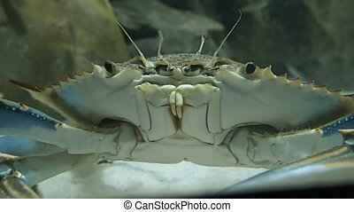 Crab in water - A crab in the water