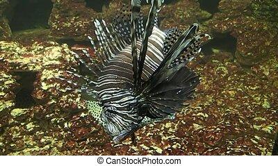 Lion fish swimming