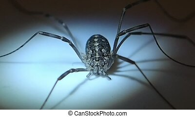 Long legs arachnid female - A daddy long legs arachnid...