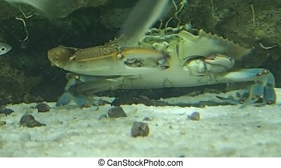 Crab eating in water - A crab eating underwater