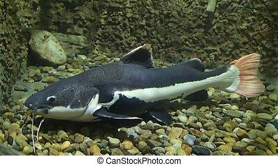 Big catfish - A big catfish moving