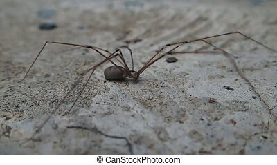 Long legs spider on cement - A long legs spider on cement
