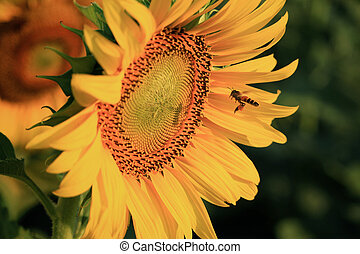Summer scene about bee that sunflower
