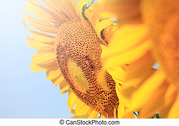 Summer scene about bee that pollinate sunflower