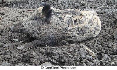 Wild boar on mud - A wild boar on mud