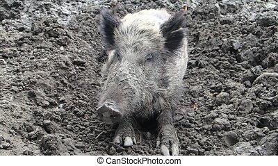 Boar sitting on mud - A wild boar sitting on mud