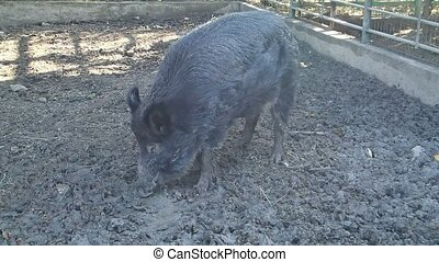 Wild pig eating from mud - A black wild pig eating from mud