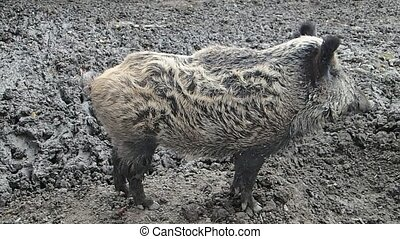 Wild boar standing