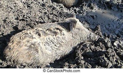Boar resting - A wild boar resting in mud