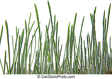 Seedlings of barley as cat grass