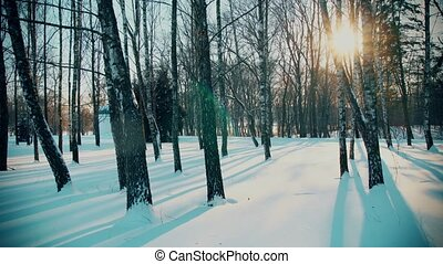 Snowy Birch Trees in the Winter Forest