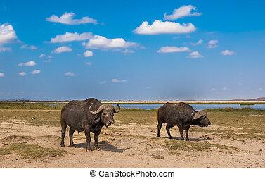 buffaloes at amboseli national park, kenya