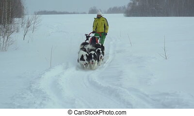 Harness with a Siberian husky rides on a snow-covered field,...