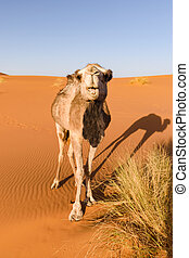 Camel looks at camera, Morocco - A camel in a desert in...