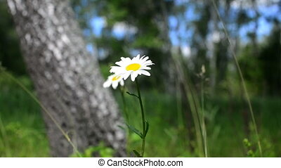 Forest white daisies swaying in the wind