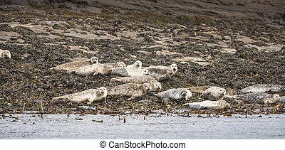 Grey Seals on Staffin Island off Skye.