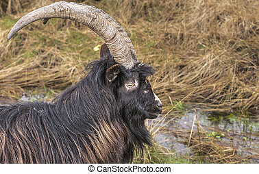 Wild Goats in Scotland. - Wild Goats in the Galloway Forest...