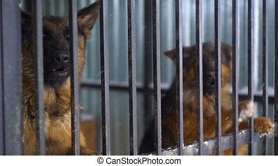 Pedigree Shepherd sitting in a cage, Russia