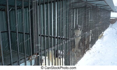 Siberian husky sitting in a cage