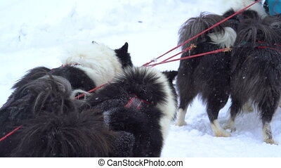 Siberian huskies harnessed to prepare for the run