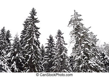 Pine tree forest at winter. - Winter landscape in pine tree...