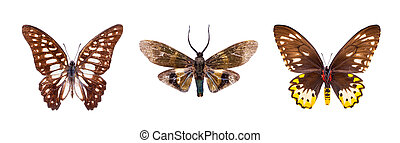 Set of three brown, beautiful butterflies isolated on white.