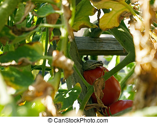 Frog on a Tomato