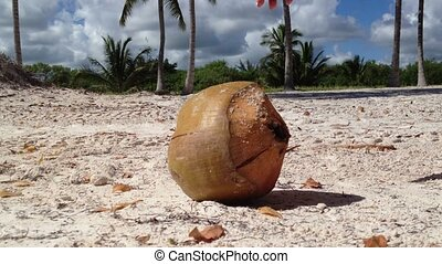 Woman takes coconut from the ground